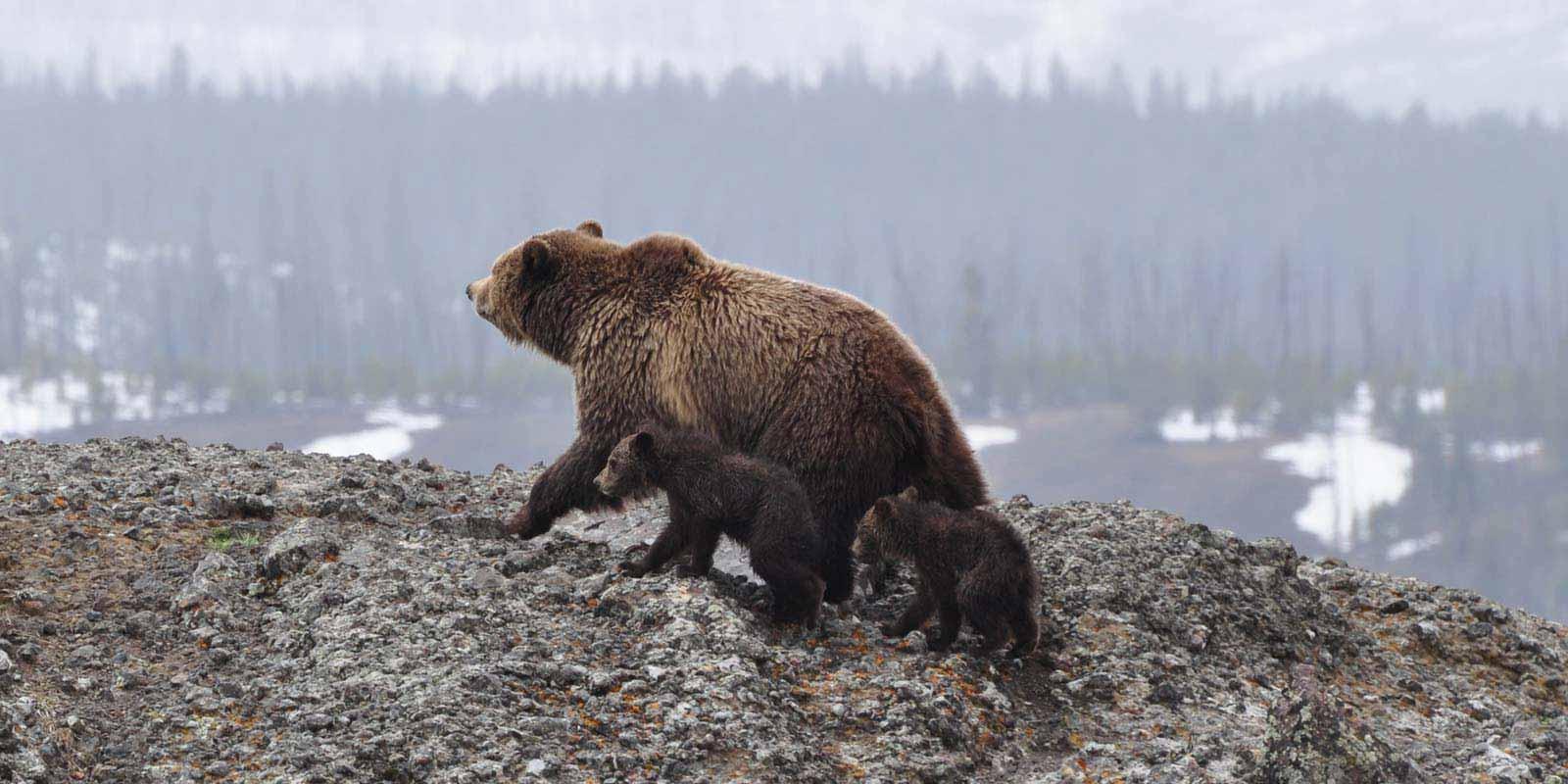 skarvruet hotel tänndalen funäsdalen funäsjällen härjedalen jämtland bear wildlife