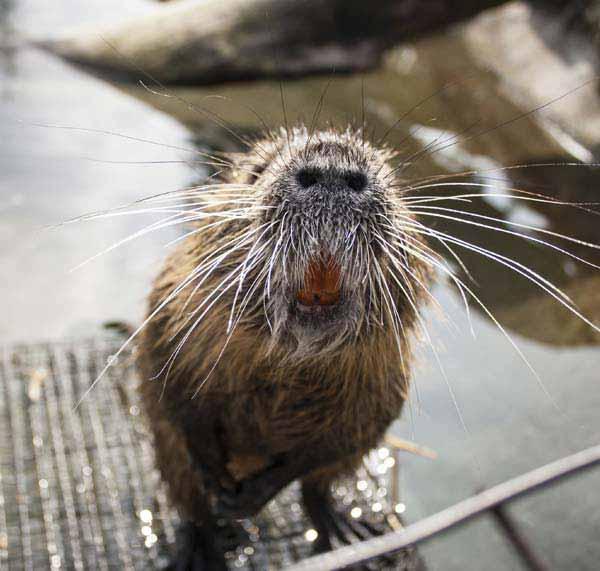 skarvruet hotel tänndalen funäsdalen funäsjällen härjedalen jämtland wildlife beaver