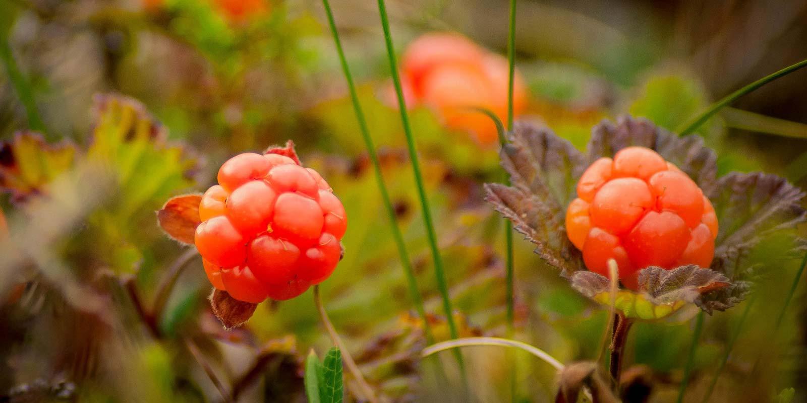 skarvruet hotel tänndalen funäsdalen funäsjällen härjedalen jämtland cloudberries