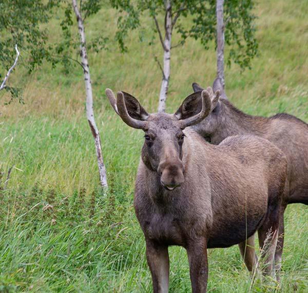 skarvruet hotel tänndalen funäsdalen funäsjällen härjedalen jämtland moose wildlife