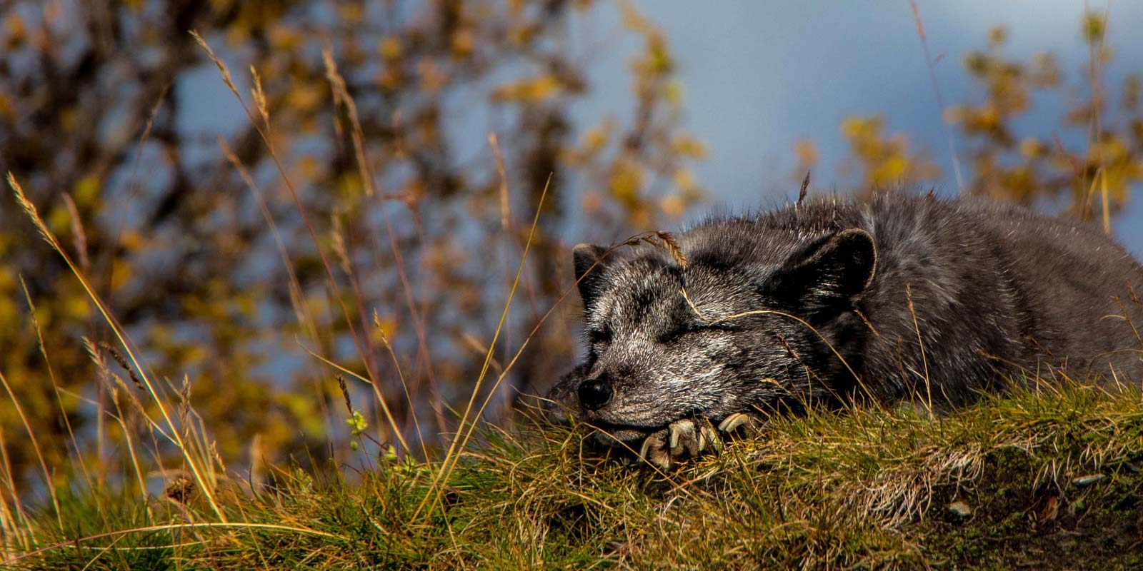 skarvruet hotel tänndalen funäsdalen funäsjällen härjedalen jämtland polar fox