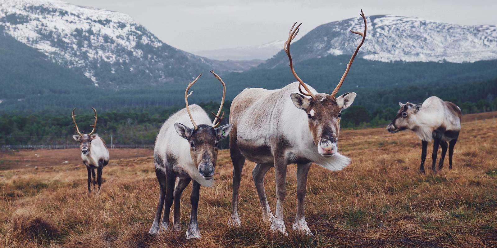 skarvruet hotel tänndalen funäsdalen funäsjällen härjedalen jämtland reindeer wildlife